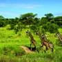 Giraffe nel National Park Masai Mara
